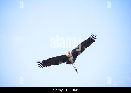 Painted Stork Flying High In The Sky - Stock Photo