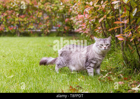 Lovely cat with long hair outdoor in a garden, siberian purebred kitten - Stock Photo