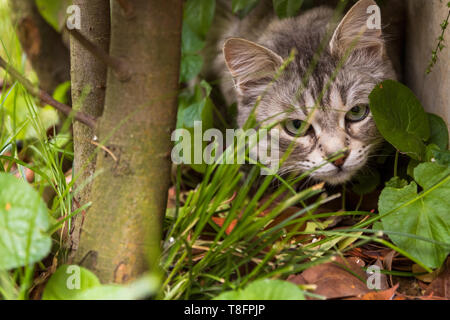 Beautiful cat with long hair outdoor in a garden, siberian purebred kitten looking through the hedge - Stock Photo