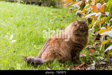 Beautiful cat with long hair outdoor in a garden, siberian purebred kitten looking the hedge - Stock Photo