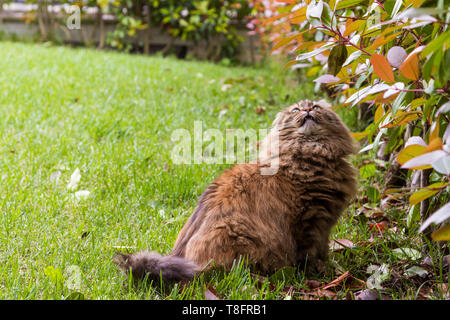 Beautiful cat with long hair outdoor in a garden, siberian purebred kitten looking up - Stock Photo