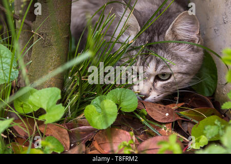 Beautiful cat with long hair outdoor in a garden, siberian purebred kitten looking the grass green - Stock Photo