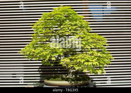 Acer Palmatum - Japanese Maple - bonsai age 70 years, at Portland Japanese Garden in Portland, Oregon, USA. - Stock Photo