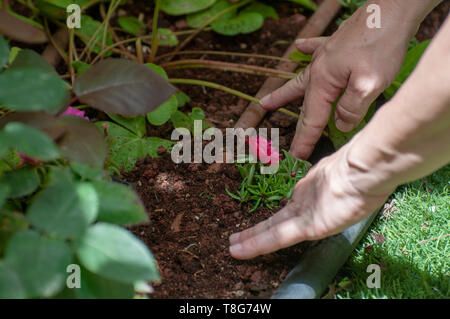 woman planting in her garden only her hands are visible in this image. Model release available - Stock Photo