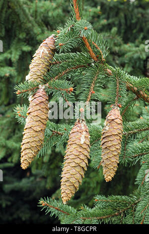 cones and leaves of norway spruce - Stock Photo