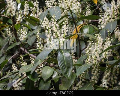 Dark green leaves and white flowers of cherry laurel / Prunus laurocerasus - Stock Photo