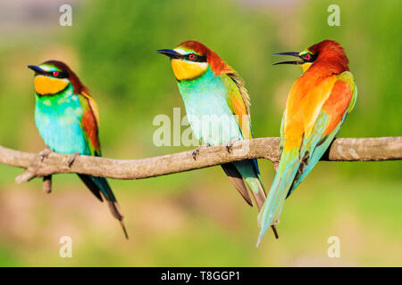 bird of paradise colorful three sit on a branch - Stock Photo