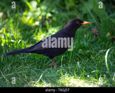 A Beautiful Male Adult Blackbird Looking for Food on a Lawn in a Garden in Alsager Cheshire England United Kingdom UK - Stock Photo