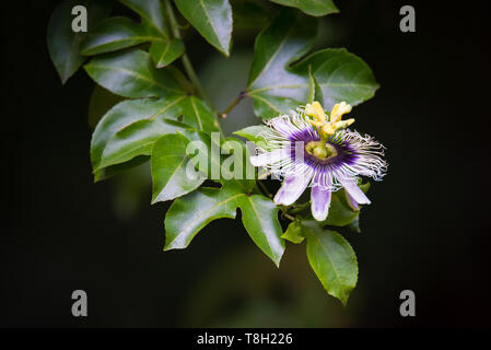 Naturalized passionfruit flowering in the in the rainforests of Kuranda, Queensland, Australia, along the popular 'Jungle Walk'. - Stock Photo