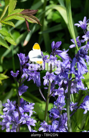 A Male Orange Tip Butterfly Enjoying the Sunshine on a Spanish Bluebell Flower in a Garden in Corbridge Northumberland England United Kingdom UK - Stock Photo