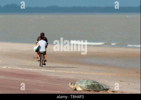 France, French Guiana, Natural Reserve of Amana, olive ridley sea turtle (Lepidochelys olivacea) - Stock Photo