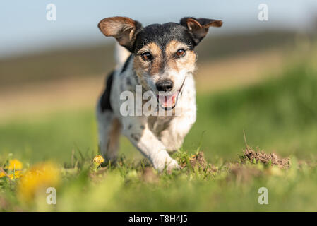 Portrait of a cute Jack Russell Terrier dog outdoor in nature against a blue sky - Stock Photo