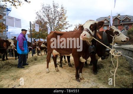 Vaches. Foire Agricole. Saint-Gervais-les-Bains. / Cows. Agricultural Fair. Saint-Gervais-les-Bains. - Stock Photo
