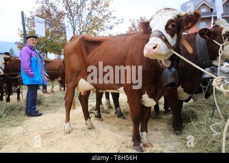 Vaches. Foire Agricole. Saint-Gervais-les-Bains. Cows. Agricultural Fair. Saint-Gervais-les-Bains. - Stock Photo
