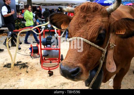 Machine à traire. Vache. Foire Agricole. Saint-Gervais-les-Bains. / Cow. Exhibition. Agricultural Fair. Saint-Gervais-les-Bains. - Stock Photo