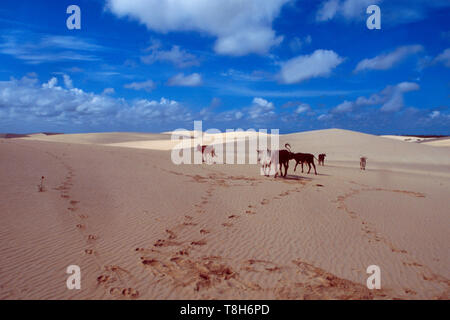 Brazil: C ows walking over the Jericoacoara sanddunes in Céara - Stock Photo