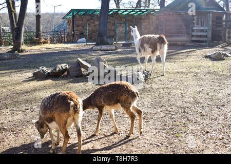 Brown llama (lama glama), mammal living in the South American Andes - Stock Photo