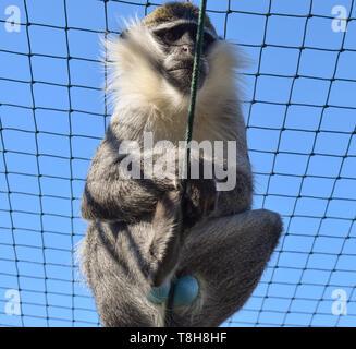 Blue Balled Vervet Monkey. Monkey with blue testicles in captivity - Stock Photo