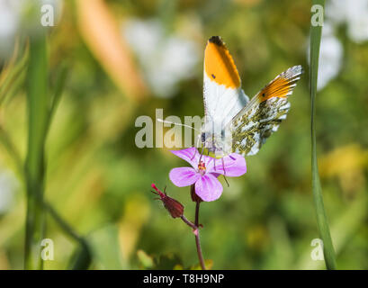 Male Orange tip butterfly (Orange tipped butterfly, Anthocharis cardamines) sitting on a pink flower in a garden in Spring (May) in West Sussex, UK. - Stock Photo