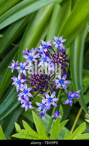 Portrait (vertical) of a Portuguese Squill (Scilla peruviana), AKA Cuban lily, flowering in a garden in Spring (May) in West Sussex, England, UK. - Stock Photo