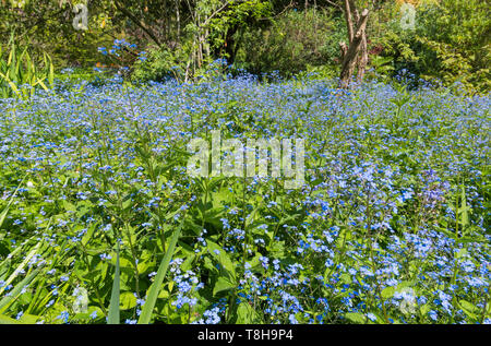Forget-Me-Nots, AKA Scorpion Grasses, small blue flowers from the genus Myosotis, flowering in Spring (May) in the UK. Blue Forget-Me-Not. - Stock Photo