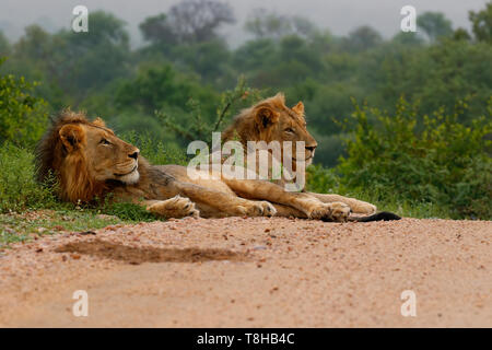 Two adolescent Male Lions Panthera Leo forming a coalition in the Kruger National Park South Africa - Stock Photo