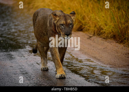 Pregnant Lioness Panthera Leo walking with intent Kruger National Park South Africa - Stock Photo