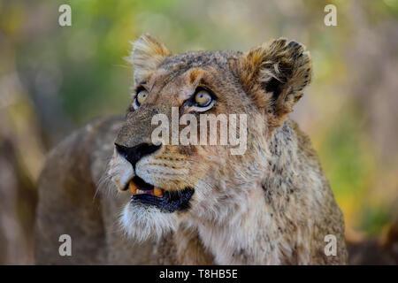 Lioness Panthera Leo staring at Vervet Monkeys Kruger National Park South Africa - Stock Photo