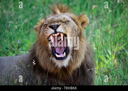 Male Lion Panthera Leo yawning baring teeth Kruger National Park South Africa - Stock Photo
