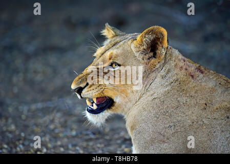 Lioness Panthera Leo snarling at other pride members Kruger National Park South Africa - Stock Photo