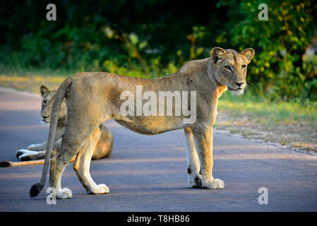 Lioness Panthera Leo staring at Buffalo Herd Kruger National Park South Africa - Stock Photo