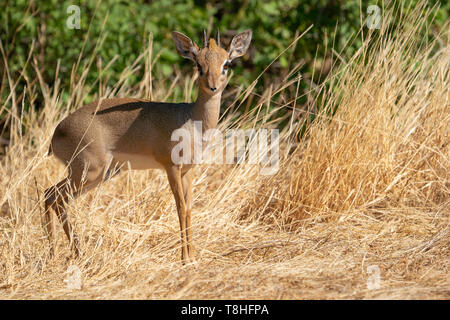Cute dik-dik standing in the grass and looking in the cameraCute dik-dik standing in the grass and looking in the camera in kenya - Stock Photo