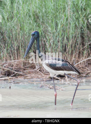 Black-necked stork wading in the Mary River in Kakadu National Park in the Northern Territory of Australia - Stock Photo