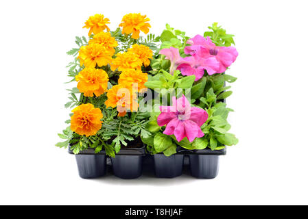Tagetes and petunia flower tray box on white isolated background. - Stock Photo