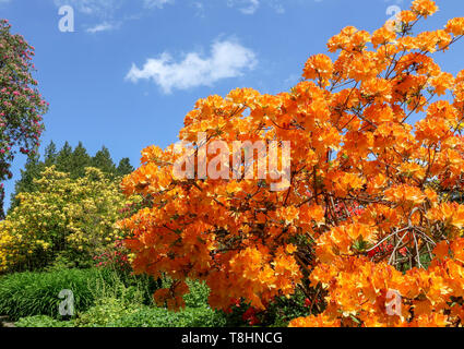 Dixon Park Belfast Northern Ireland. 13th May 2019. UK weather -  a warm sunny day in Belfast, despite a fresh breeze. Blue sky overhead shows spring-time colour in the park at its best. Orange rhododendron and other coloured rhododendron with blue sky overhead. Credit: David Hunter/Alamy Live News. Credit: David Hunter/Alamy Live News - Stock Photo