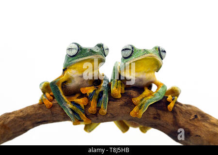 Two Javan tree frogs sitting on a branch, Indonesia - Stock Photo
