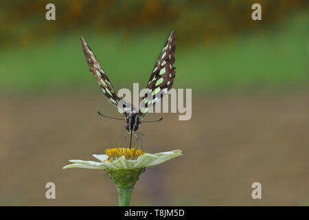 butterfly on zinnia flower with blur bokeh background - Stock Photo