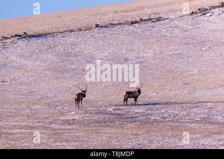 Mongolia, Hustai National Park, Red deer (Cervus elaphus) in the mountain, adult males - Stock Photo