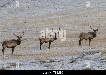 Mongolia, Hustai National Park, Red deer (Cervus elaphus) in the mountain - Stock Photo