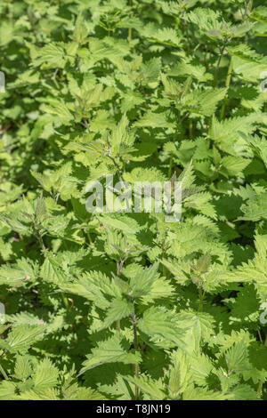 Patch of mid-season common Stinging Nettle / Urtica dioica. Well-known foraged food for nettle soup and spinach substitute. Painful sting concept. - Stock Photo
