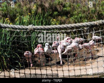 lesser flamingos Phoeniconaias minor of the largest flock in north america - Stock Photo