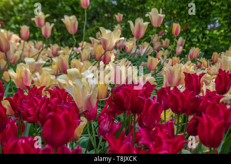 Red and white tulips & tulip bed - Keukenhof Gardens - spring flowers in Holland - Tulips in the Netherlands - Tulipa species - Liliaceae family - Stock Photo