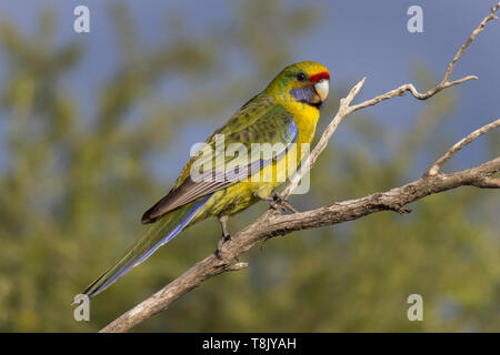 Green Rosella, Platycercus caledonicus, perched on a tree branch in southern Tasmania, Australia - Stock Photo