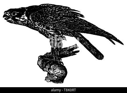 Eurasian hobby, Falco subbuteo, anonym (, ) - Stock Photo