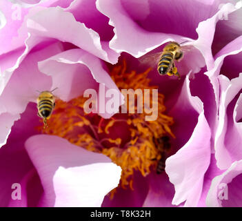 Common Honey Bees (Apis melifera) landing on a Tree Peony. Kent, England, May - Stock Photo