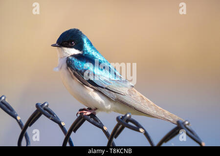 A male tree swallow (Tachycineta bicolor) perched on a fence.  Beaumont, Alberta, Canada. - Stock Photo