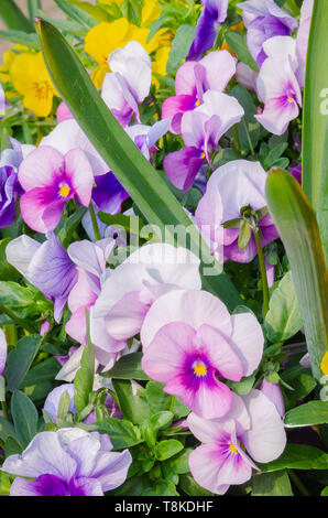 A close up image of a spray of garden pansies with a multitude of colours on display - Stock Photo