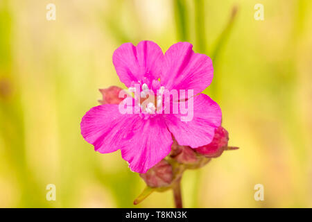 Colour macro photograph of single isolated red campion flower on blurred green background. Poole, Dorset, England. - Stock Photo
