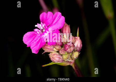 Colour macro photograph of single isolated red campion flower on dark background. Poole, Dorset, England. - Stock Photo