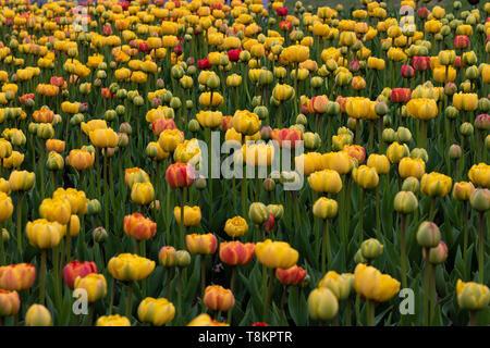 Tulip fields at the Tulip Festival in Ottawa, Ontario. - Stock Photo
